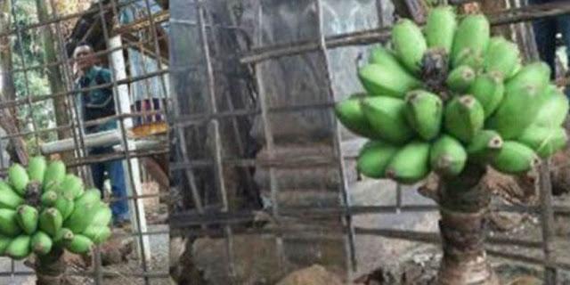 Pohon Pisang Di Belakang Masjid Ini Tak Miliki Batang Maupun Daun