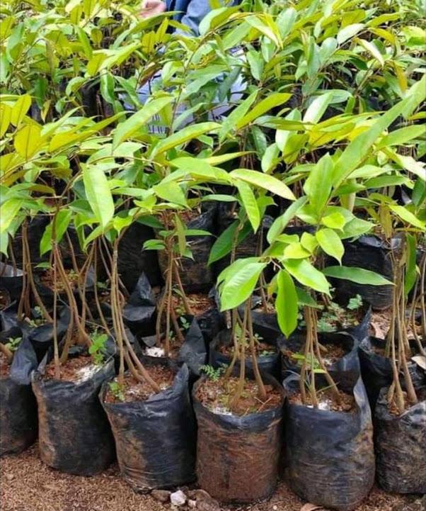 Bibit Durian Bawor Kaki 3 Genjah Okulasi Berkualitas Padang Sidempuan