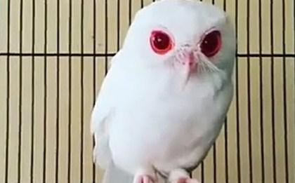 Daftar Harga Burung Hantu Terbaru Saat Ini Di Tahun 2018 Paling Lengkap Kicau Mania