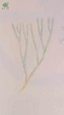 huperzia selago, projekt rysunkowy zielnik, botanika, biologia, natura
