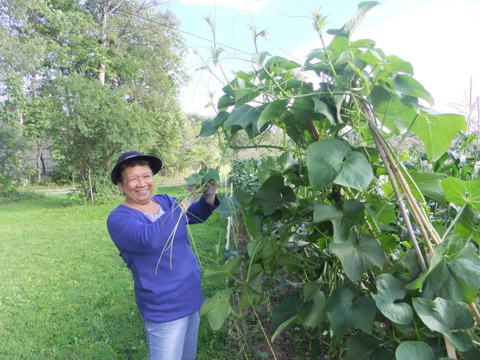 Kusina ni Manang: Sayote Series Part 1. Growing Sayote