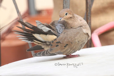 Here is another view of the Mourning dove seen in the first image (directly above this one). I'm not sure of the bird's gender so I'll refer to the creature with the he pronoun. He has paused from  doing the activity of preening and is still standing atop an outdoor garden table made of marble. The surface is white. From the position he is in we can only see one of his dark eyes eyes and he is staring intently at something unbeknownst to me. We can also see his pink feet which are a characteristic of this bird type. The feathers that he has preened are standing straight up (as shown in the left portion of the image) resembling a paper fan. Mourning doves have a story within volume one of my three volume book series. Info re these books is another post within this blog @ https://www.thelastleafgardener.com/2018/10/one-sheet-book-series-info.html