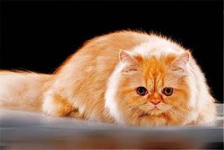 Gambar Kucing Persia Lucu 100021