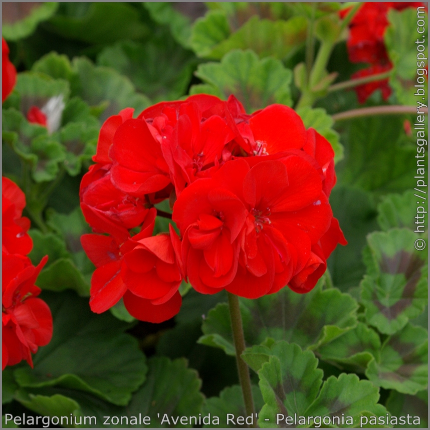 Pelargonium zonale 'Avenida Red' - Pelargonia pasiasta 'Avenida Red'
