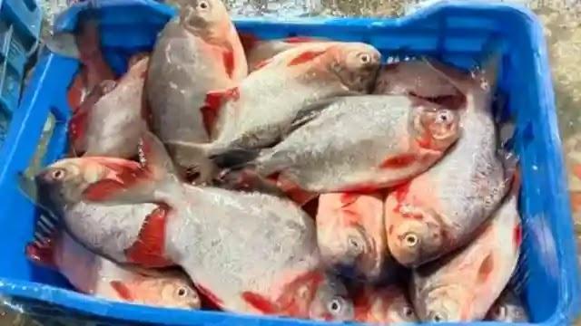 ইসলামপুরে রাক্ষুসে পিরানহা মাছ বিক্রির দায়ে জরিমানা