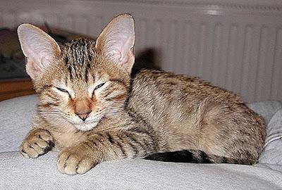 Karakter Ras Kucing Kanaani