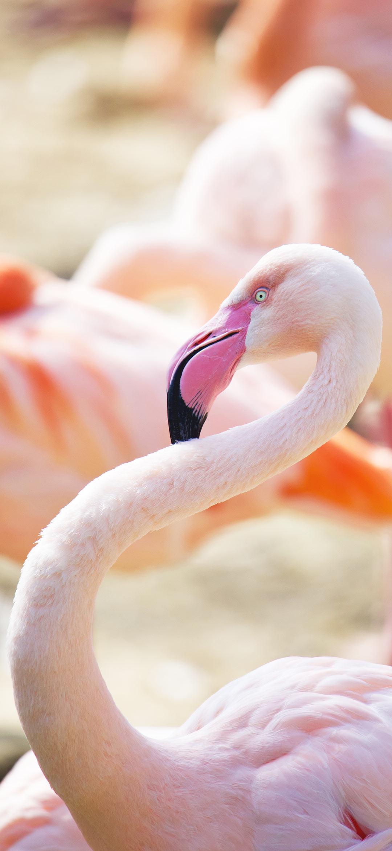 خلفية طائر الفلامنجو وردي اللون