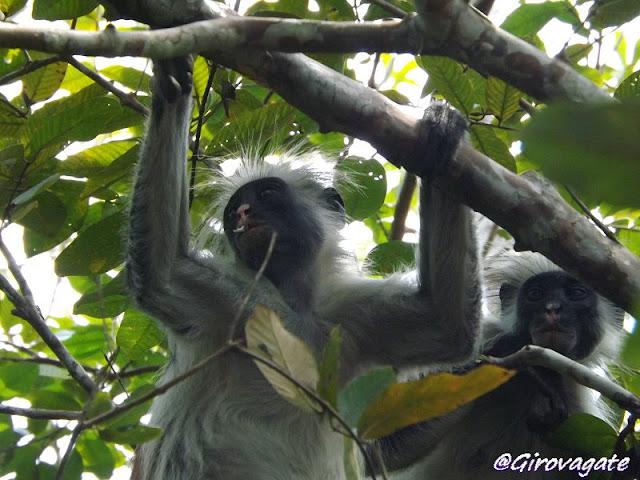 scimmie Red Colobus Jozani Zanzibar
