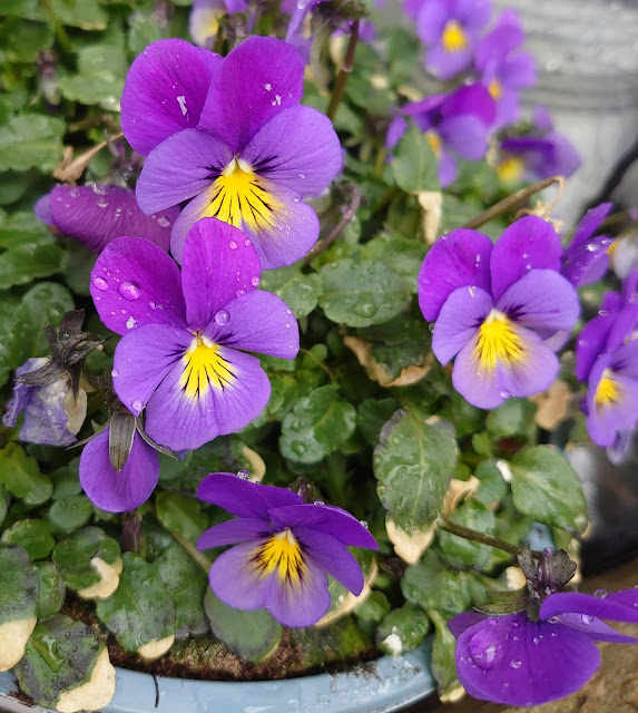 Viola cornuta hybrid