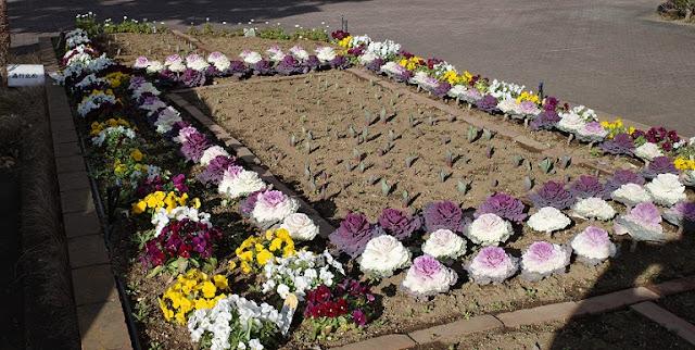 花壇に咲く葉ボタンとビオラ