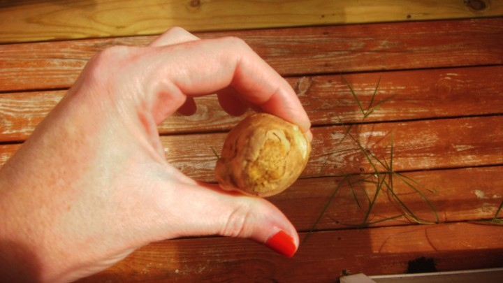Ginger Root in the Shape of a Ball on a Wooden Deck at Summer Picnic