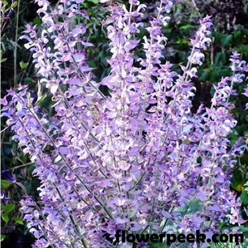 Tips on how to grow Clary Sage