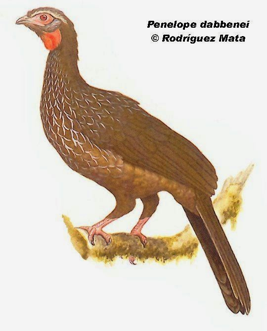 Red faced Guan