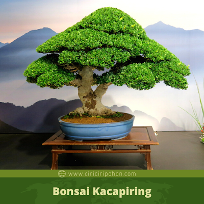 Bonsai Kacapiring