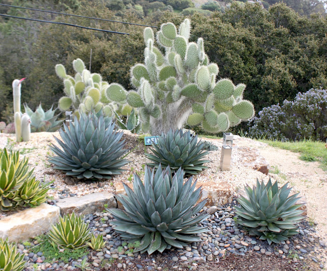 """Agave """"Blue Glow"""" and Agave """"Red Margin"""""""