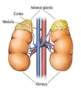 Letak Kelenjar Adrenal