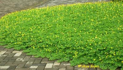 Jasa tukang taman surabaya - Kacang Hias (Arachis pintoi)
