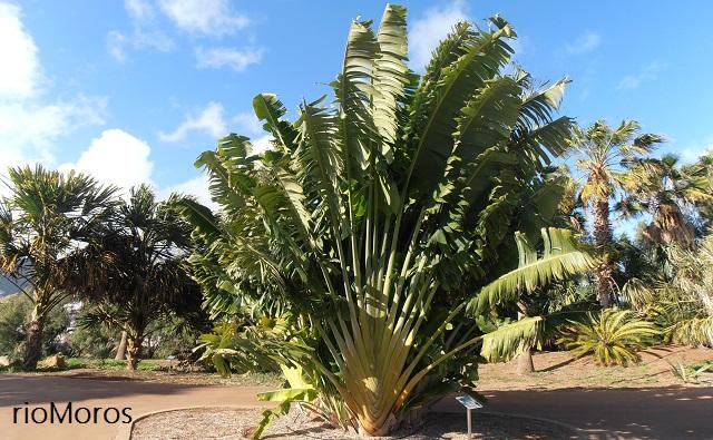 Palma del Viajero Ravenala madagascariensis