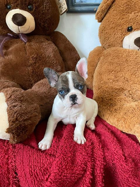 Bulldog Francés Ojos Azules