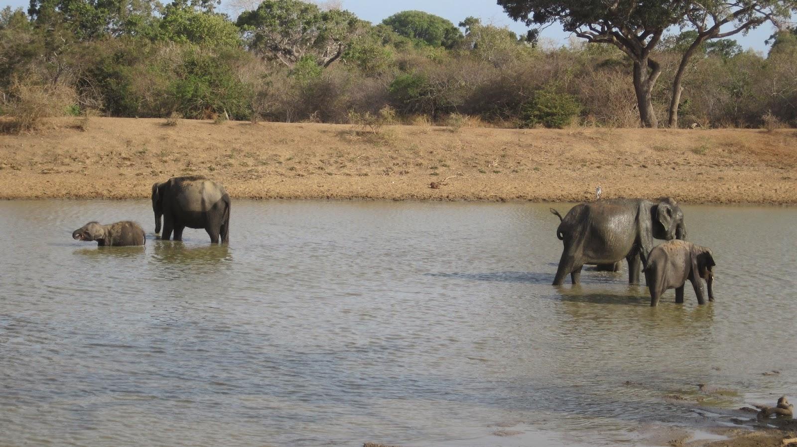 Elefantes en el Parque Nacional de Yala (Sri Lanka)