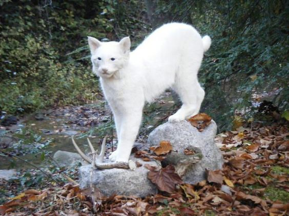 Bobcat | A-Z List of 125 Rare Albino Animals [Pics]
