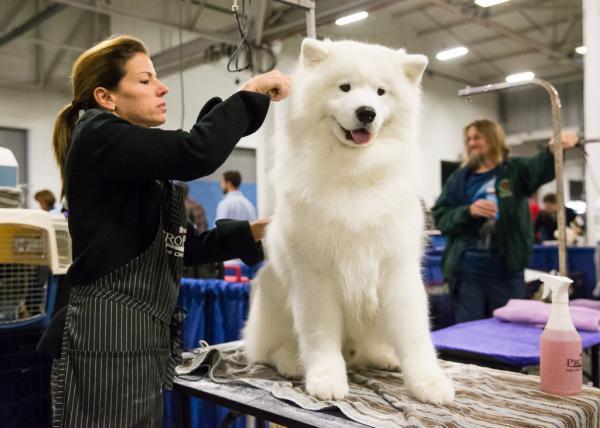 Chó Samoyed bao nhiêu tiền ? Giống chó Samoyed có dể nuôi không ?