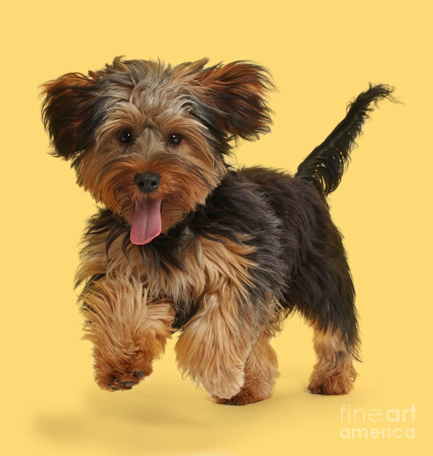 Everything About Your Yorkipoo Luv My Dogs