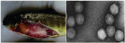 Penyakit Virus Pada Ikan : Infectious Pancreatic Necrosis (IPN)