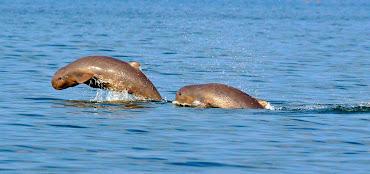 Le dauphin de l'Irrawaddy du Mékong
