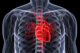 مكان القلب في جسم الإنسان