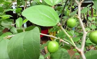 Jenis-Jenis Pohon Bidara Yang Umum Di Temui Beserta Ciri-Cirinya
