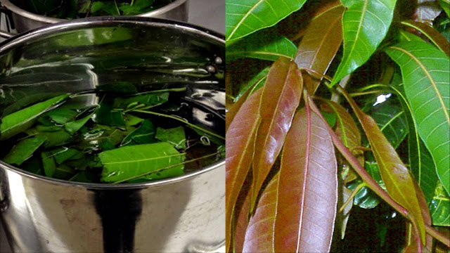 Medical Properties of Mango Leaves That You Aren't Aware Of!