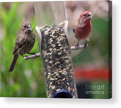 This is a screen shot of a photograph which has been rendered on to acrylic and I'm selling on Fine Art America. It features a couple of House finches at a tube shaped bird feeder filled with seeds. The female (brownish) is on  the left side of the feeder while the male (red) is on the right of the tube. Info re this work of art is @ https://fineartamerica.com/featured/dinner-for-two-patricia-youngquist.html?product=acrylic-print