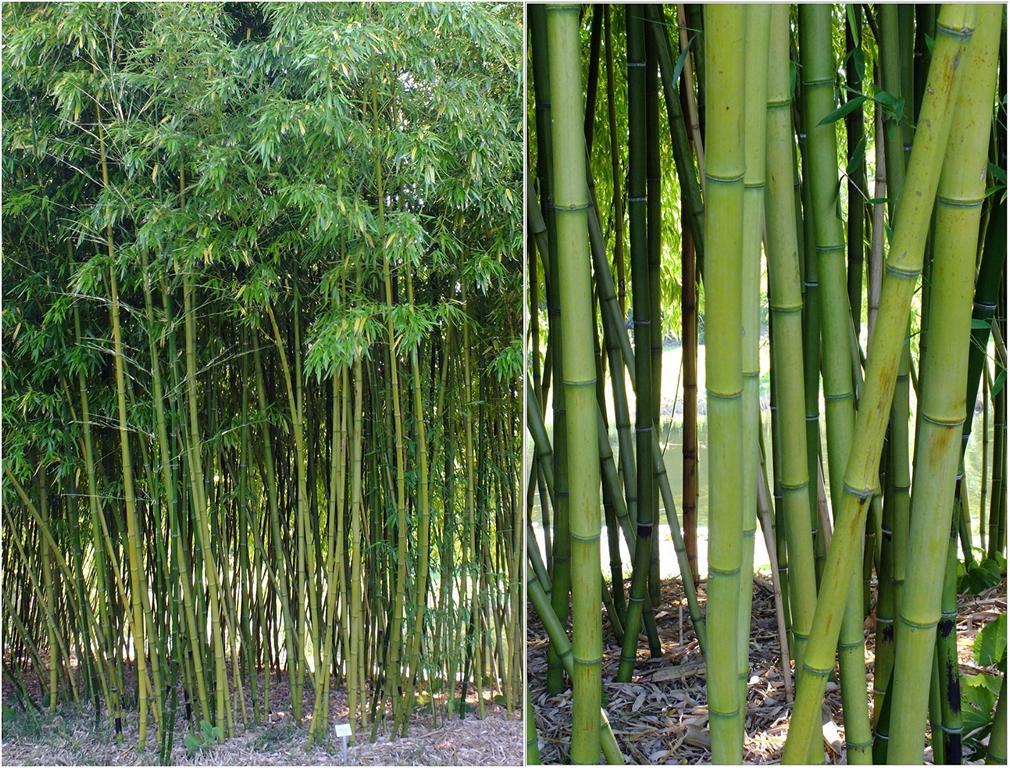 Bambus kamelien yuccas bambus im botanischen garten for Garten bambus