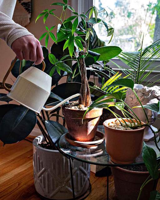 Watering your Houseplants
