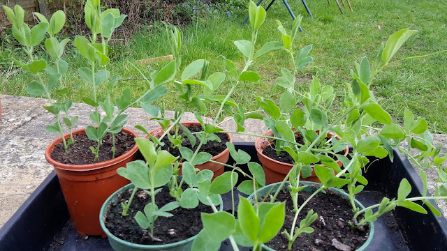 Project 366 2016 day 104 - Sweet peas // 76sunflowers