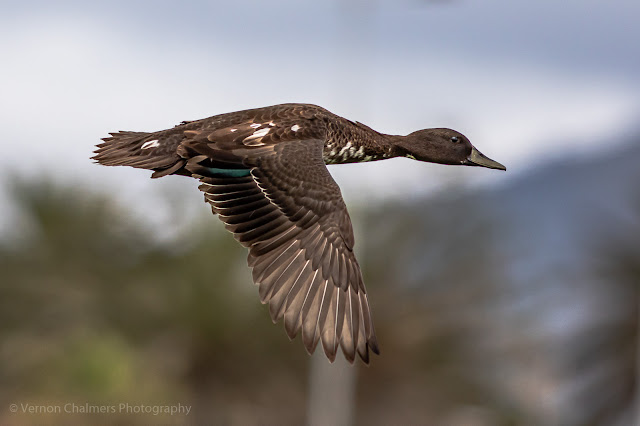 African black duck in flight - Table Bay Nature Reserve