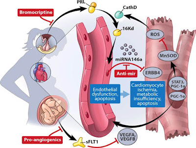 Pathomechanisms_of_peripartum_cardiomyopathy_PPCM