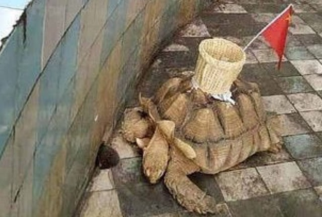 Rùa bị ép cõng sọt cắm cờ Trung Quốc cho du khách ném xu
