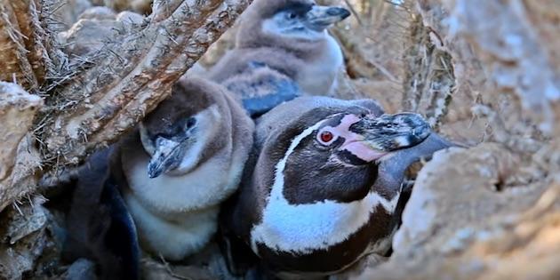 Adulto y dos polluelos en nido en Reserva Nacional Pingüino de Humboldt