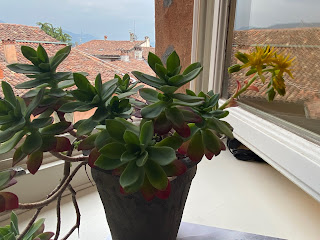 Our Sedum palmeri plant, which usually sits outside this window.