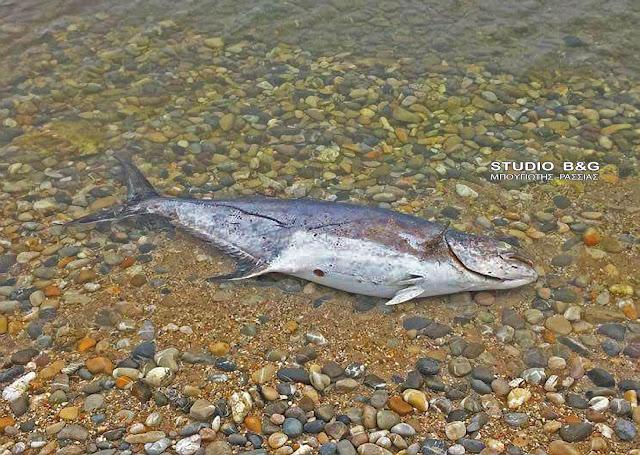 Ψάρι 20 κιλών βρέθηκε νεκρό σε παραλία της Αργολίδας