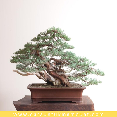 Bonsai Juniperus Occidentalis (Sierra) 4