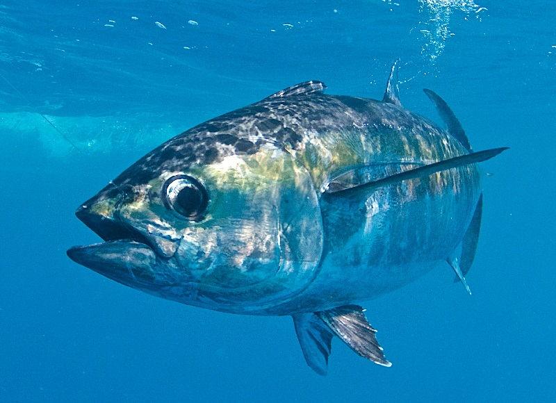 Gambar Tuna ( Scomber scombrus ) bernafas dengan insang dan termasuk jenis ikan bertulang sejati