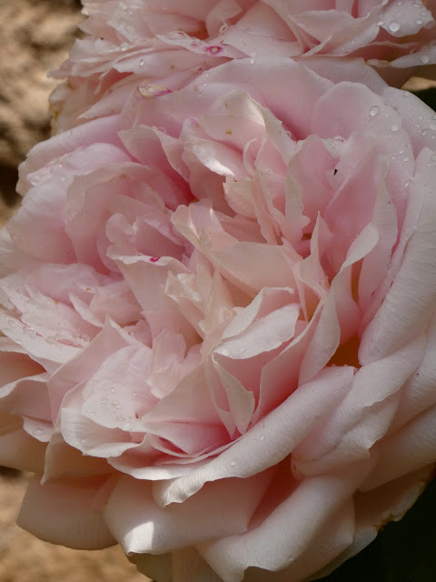 Pink peace rose - Sincerely Loree