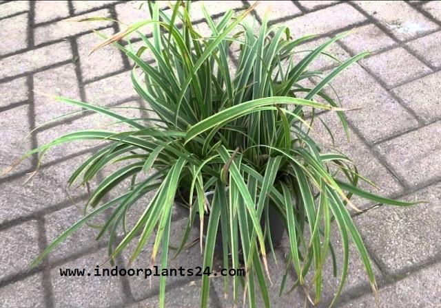 Carex Morrowii ' Variegata' Cyperaceae Japanese Sedge Grass