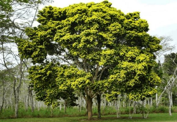 Flora-Pau-Brasil