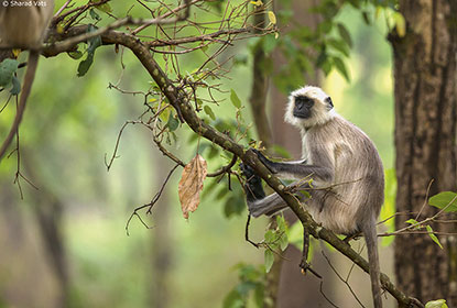 Grey langur monkey in Kanha National Park