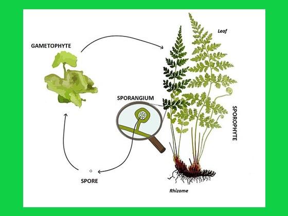 proses metagenesis tumbuhan paku