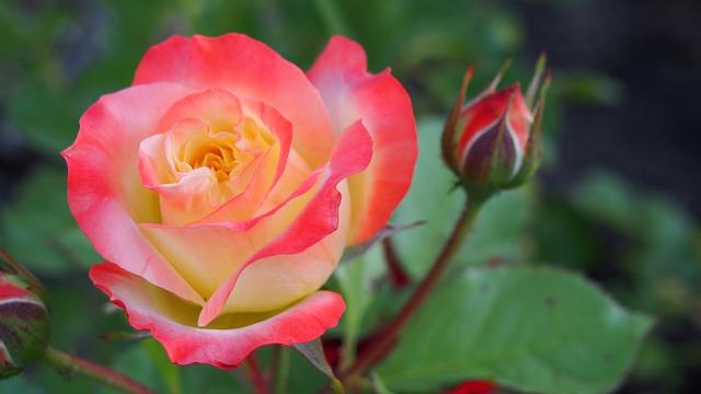Kết quả hình ảnh cho hoa hồng đẹp